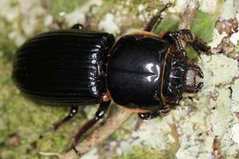 A close up of a black shiny beetle against a green background.