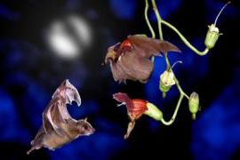 Two fruit bats interact with a plant