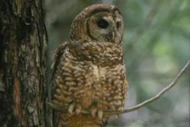 A photo of a spotted owl on a tree branch