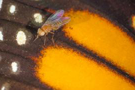 Fruit fly on wing