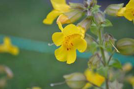 A photo of a pretty yellow flower with red spots dotting the throat.