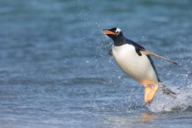 gentoo penguin becomes airborne out of the water